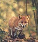 Fuchsbelllaut- Fuchslocker Hubertus/ Wildlocker Art.Nr. HU-2012385