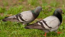 Taubenlocker